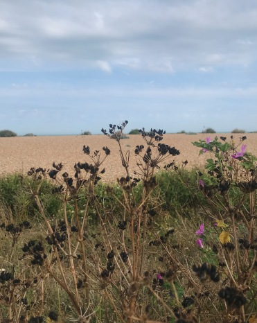 Alexanders seeds on Walmer Beach